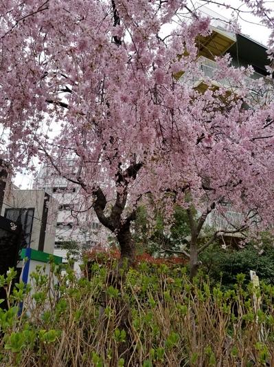 20180323_飯倉公園.jpgのサムネール画像